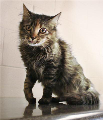 limping kitten disease