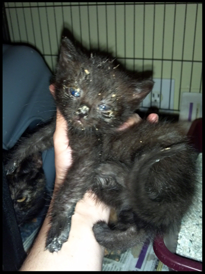 Black Kitten Messy.jpg