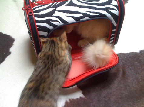 Cat Carrier Fight.jpg