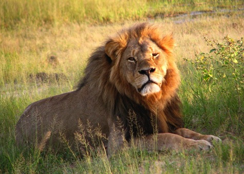 Cecil the lion at Hwange National Park 4516560206