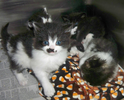 First Blk-white mama's litter.jpg