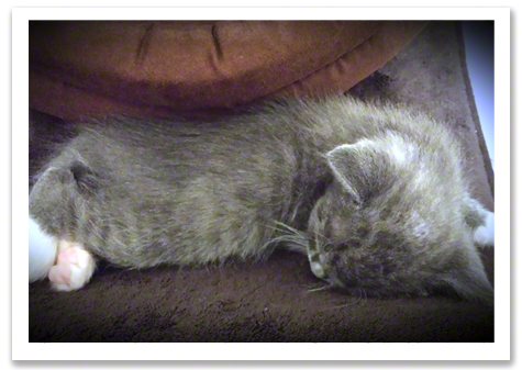 Gray kitten sleeping.jpg