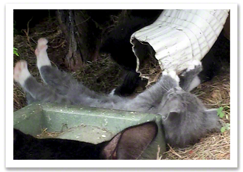 Gray kitten with downspout.jpg