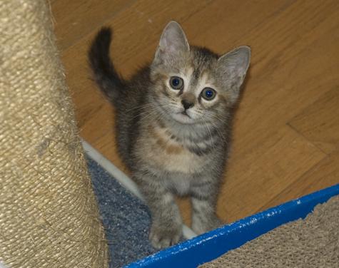 Kitten1_TabbyCo.jpg