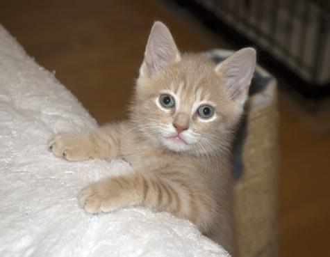 Kitten2_BuffTabby.jpg