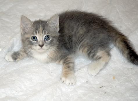 Kitten3_DiluteCalico.jpg