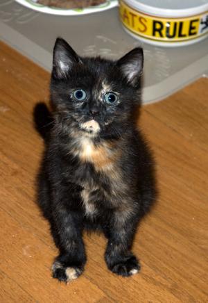 Kitten5_torti.jpg