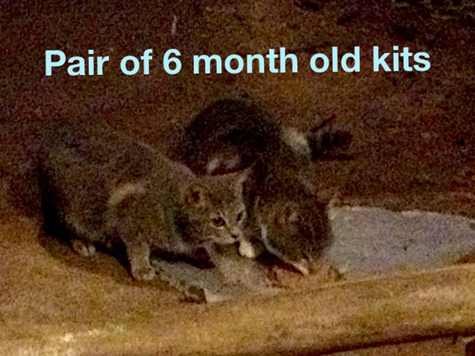 Pair of kittens.jpg