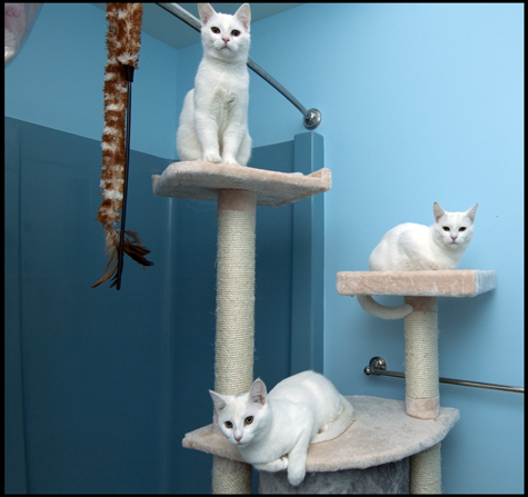 Tower of White Kittens.jpg