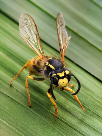 Vespula germanica Richard Bartz 350