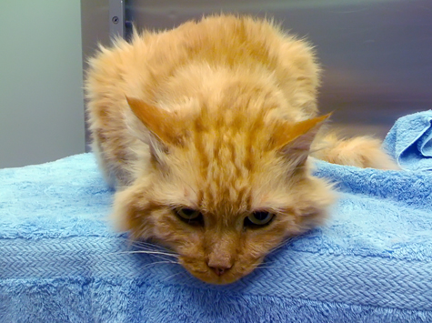 cat catheter recovery